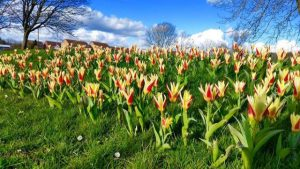 Photographs of tulips on the south village green