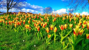 Photo of flowering tulips on village green