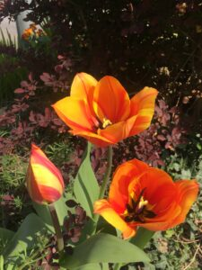 some orange and yellow Tulips in the garden of a resident